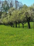 Plum tree line at spring Stock Photo