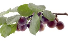 Plum tree macro Royalty Free Stock Photo