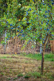 Plum tree in an orchard. Tree full of blue plums in an orchard Royalty Free Stock Image