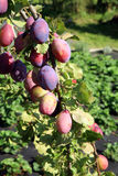 Plum tree in orchard Royalty Free Stock Photography