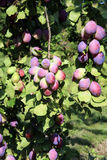Plum tree in orchard Stock Photography