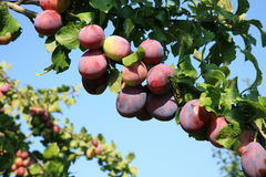 Plum tree in orchard Stock Image
