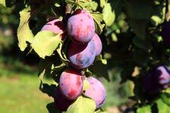 Plum tree in orchard Stock Photos