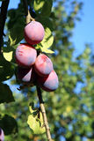 Plum tree in orchard Royalty Free Stock Images
