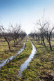 Plum tree orchard in winter with muddy way trough it Stock Photography
