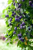 Plum tree in overgrown garden stock photos