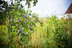 Plum tree in overgrown garden Stock Photo