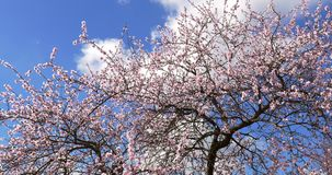 Plum Tree Pink Flowers Blooming. In Spring stock video footage