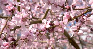 Plum Tree Pink Flowers Blooming. In Spring stock video