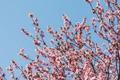 Plum Tree Pink Flowers Blossom Royaltyfri Fotografi
