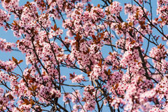 Plum Tree Pink Flowers Blossom Royaltyfria Foton