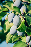 Plum tree Royalty Free Stock Image