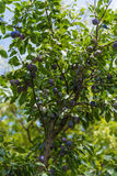 Plum tree. With plums in orchard Royalty Free Stock Photography