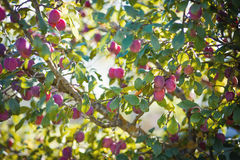 Plum tree with plums Stock Image
