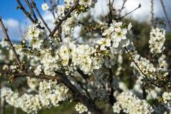 Plum tree, Prunus domestica Stock Images