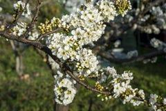Plum tree, Prunus domestica Stock Photos