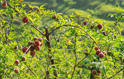Plum tree with red plums. Royalty Free Stock Photos