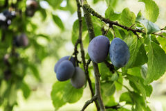 Plum tree. Ripe blue plums on a branch plums Royalty Free Stock Photography