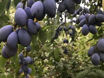 Plum tree in the Garden. Plum tree with ripe plums in the garden stock image