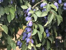 Plum tree with ripe plums. stock photography