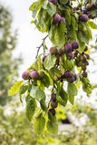 Plum tree with ripening fruit overcast day Stock Image