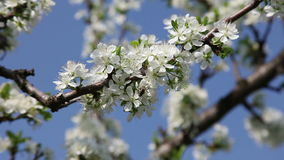 Plum tree spring Royalty Free Stock Photography