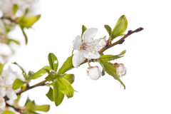 Plum tree on spring time Stock Photography