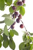 Plum-tree on white Royalty Free Stock Photos