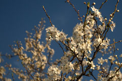 Plum tree. White flowering plum tree and blue sky Royalty Free Stock Image