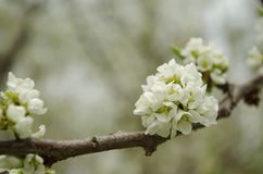 Plum-tree white flowers on a tree brunch. White flowers plum tree flowers on a branch with a beautiful bokeh Royalty Free Stock Photography