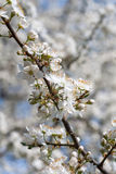 Plum tree with white Spring Blossoms Stock Photo