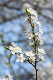 Plum tree with white Spring Blossoms Royalty Free Stock Image