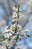 Plum tree with white Spring Blossoms Royalty Free Stock Photography