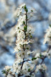 Plum tree with white Spring Blossoms Stock Images