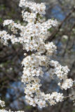 Plum tree with white Spring Blossoms Royalty Free Stock Images