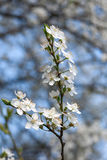 Plum tree with white Spring Blossoms Stock Image