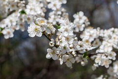 Plum tree with white Spring Blossoms Stock Photos