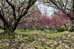 Plum trees. With blossoms under bright sunshine Royalty Free Stock Image