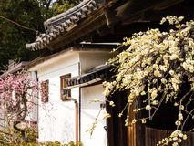 Plum trees blooming in a courtyard of traditional Japanese house Royalty Free Stock Photography