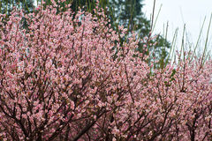 Plum trees blooming Stock Images