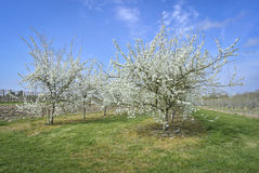 Plum Trees in Blossom Stock Images