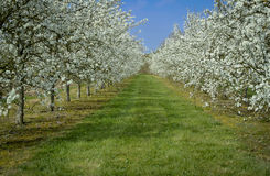 Plum Trees in Blossom Royalty Free Stock Photography