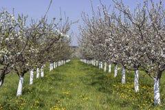 Plum trees flowering time 2 Stock Photos