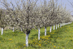 Plum trees flowering time 3 Stock Photo