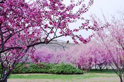 Plum trees grove with branches in full flower. There are some plum trees grove with branches in full flower Stock Images