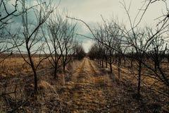Plum trees. Orchard of plum trees in autumn scenery Stock Photos