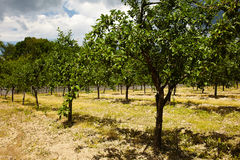Plum trees orchard Stock Images