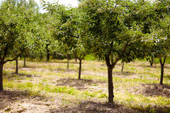 Plum trees orchard Stock Image