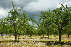 Plum trees orchard Royalty Free Stock Photo