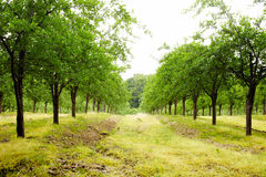 Plum trees orchard Royalty Free Stock Photography